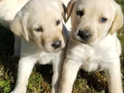 Labrador puppies dogs for sell